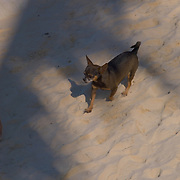 Dog walking on the sand at North beach, Isla Mujeres, Quintana Roo. MX.