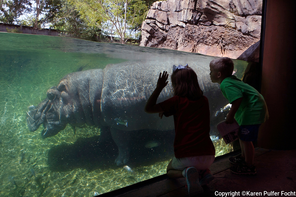 "Zambezi River Hippo Camp, a new exhibit at the Memphis Zoo in Memphis, Tennessee opened spring of 2016. Visitors get an up close look at the large creatures swimming underwater through the glass. Hippos have had a storied history at the Memphis Zoo. The story begins in 1914 with the arrival of ""Venus"" and ""Adonis"" – the Memphis Zoo hippo who sired 25 offspring, and propelled the Memphis Zoo to the status of ""Hippo Capital of the World."" Adonis lived until 1965, when he died at the age of 54. He was the world's longest living hippopotamus."