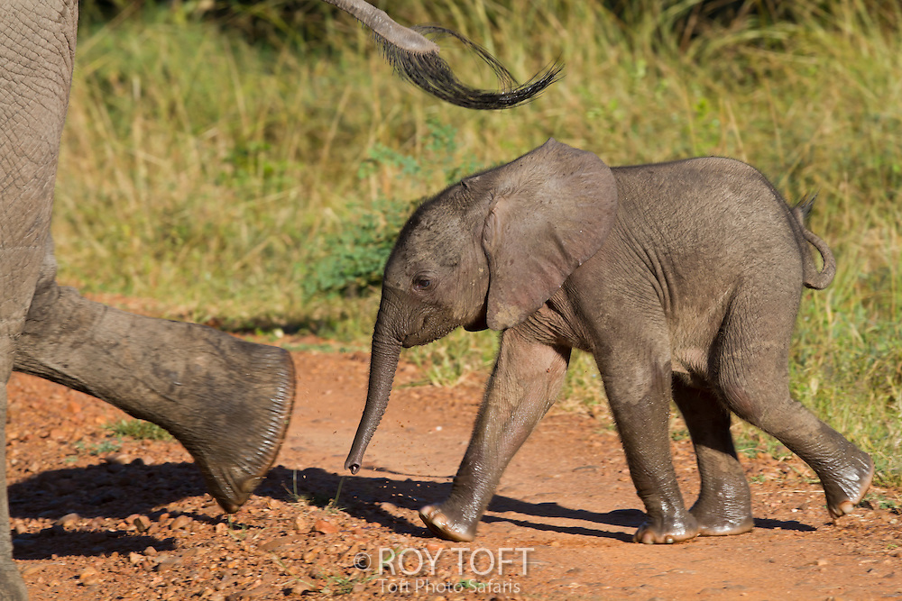 A juvenile African elephant walking next to parent, Zambia, Africa