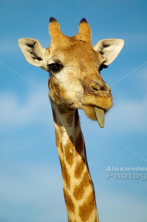 Namibia, 2004 - Giraffe sticks tongue out while grazing at Etosha park.