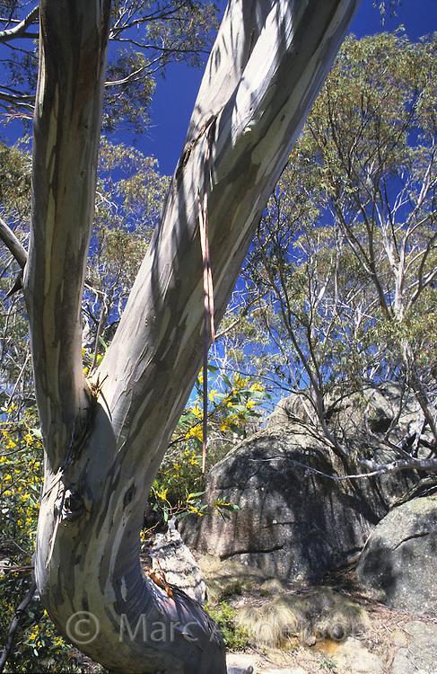 Snow Gum, Eucalyptus pauciflora, Mount Buffalo National Park, Australia.