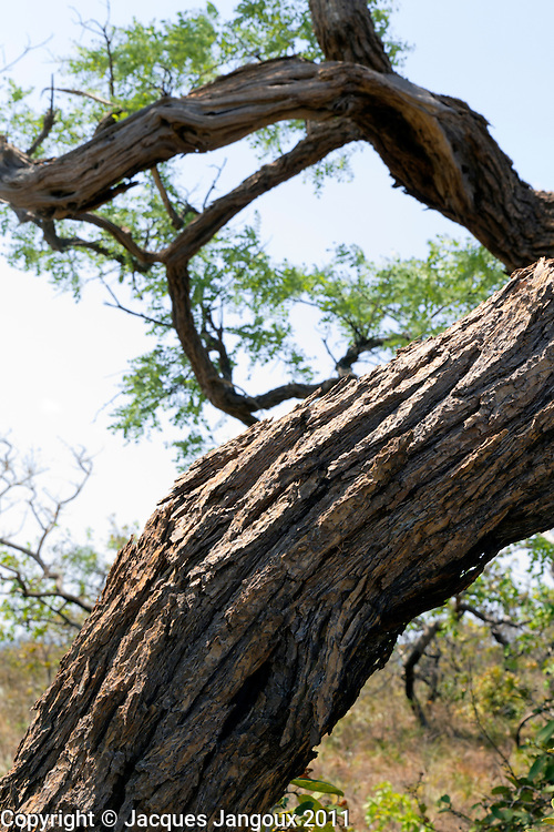 Thick bark of tree, a protection against fire in savanna (called  cerrado in Brazil), Goias - Minas Gerais - Bahia State, Brazil
