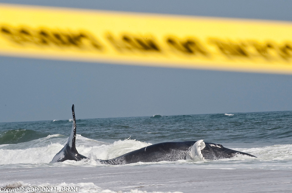 A whale that washed up near Main Beach in East Hampton Tuesday morning continues to struggle in the surf (April 8, 2010)