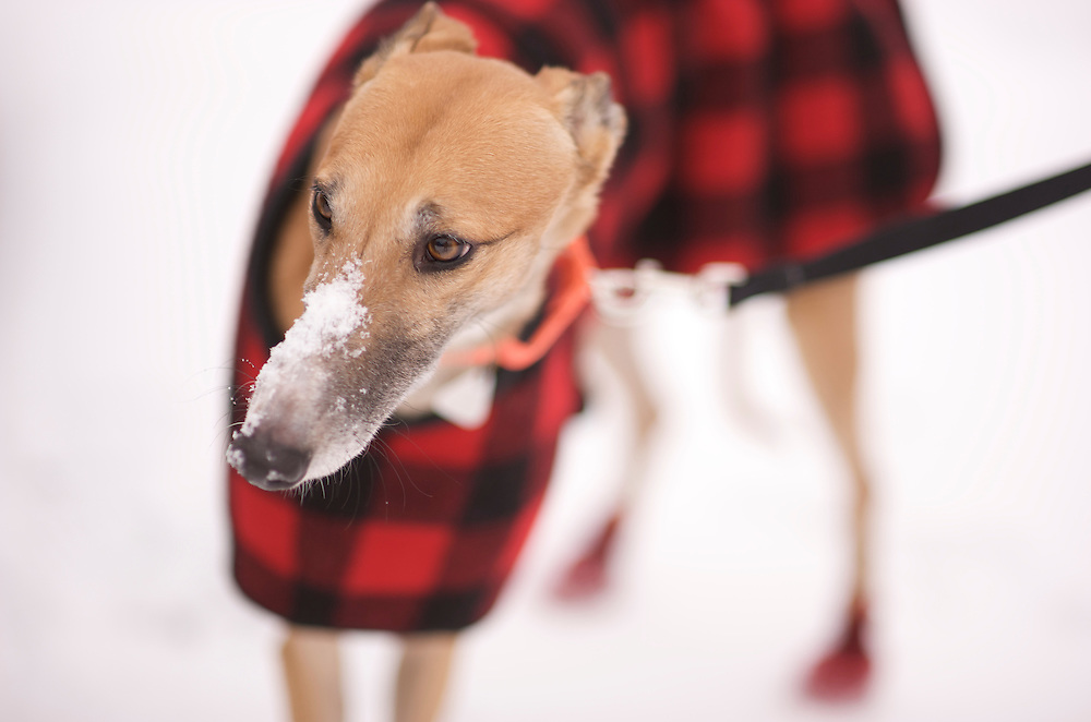First Snow. Greyound Rescue Fostering