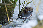 Water rail (Rallus aquaticus) delving for food in the ice at Shapwick Heath. As is normal for this species, it is seen skulking in the undergrowth.