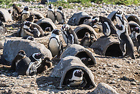 African Penguins in their artificial nesting boxes on Dyer Island, Western Cape, South Africa