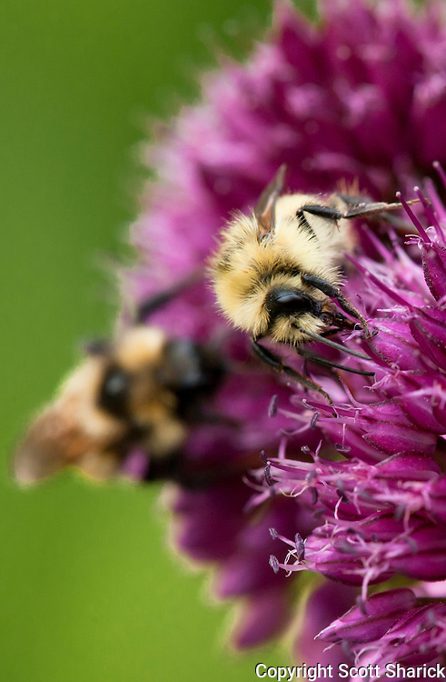 Handheld with a 70-200 2.8 and a close-up Canon 500D filter/lens, This is a closeup picture of honey bees on a purple flower. Missoula Photographer