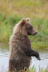 North American brown bear /  coastal grizzly bear (Ursus arctos horribilis) cub standing up along a creek looking, Lake Clark National Park, Alaska, United States of America