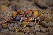 Coosa Crayfish<br />