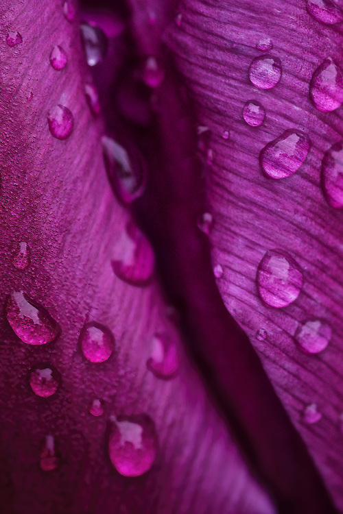 Purple Tulip - I was intrigued by the magnified textures seen through the water droplets clinging to the edge of this purple crevasse.