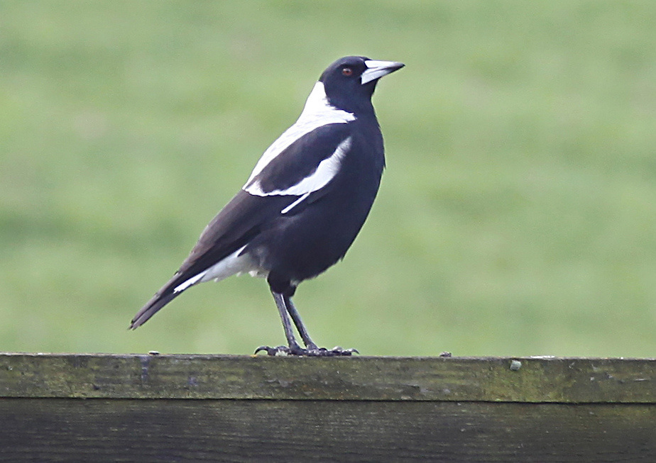 Magpie on a fence, Rangiora, New Zealand, Wednesday, April 20, 2011.  Credit:SNPA/Pam Johnson