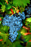 Copyright JIm Rice ©2013<br /> RED WINE GRAPES .<br /> HUNTER VALLEY.<br /> AUSTRALIA