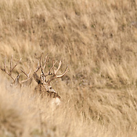 mule deer buck in open grass pine forest