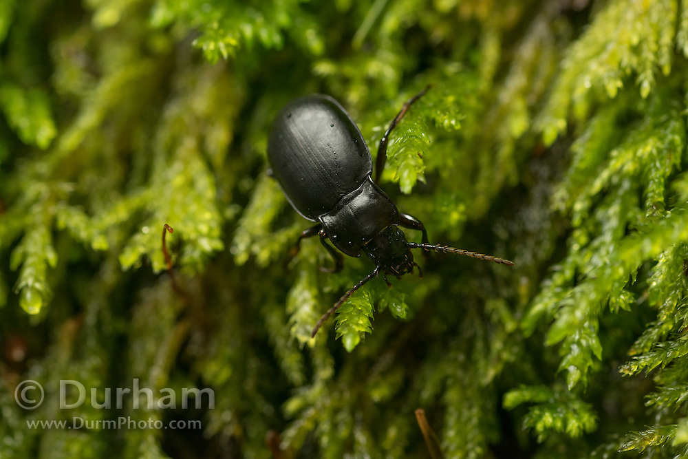 A blister beetle (family Meloidae) wandering through the moss in the Columbia River Gorge, Oregon.