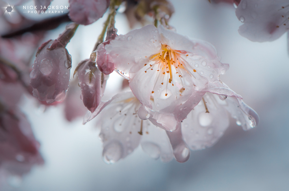 Late April is Cherry Blossom season in Japan and it's an incredible sight to be hold. As the warm temperatures sweep from East to West so do the blooms of the blossom. For two short weeks much of Japan is awash with pink and white flowers
