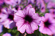 Hybrid petunia blossoms.