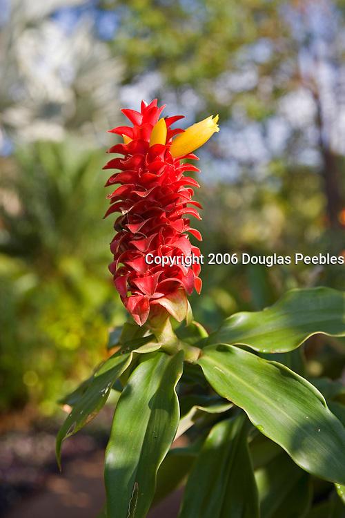 Red Ginger, Allerton Gardens, Poipu, Kauai