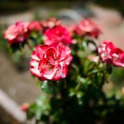 at the Bon Air Memorial Rose Garden in Arlington, Virginia. The garden is located next to a park and Four Mile Run.