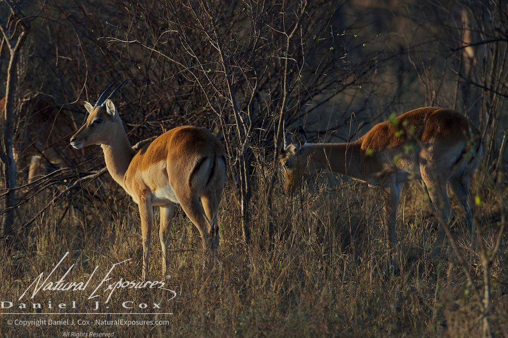Impala browsing on various plants in the late evening light in Malamala Gam Reserve, South Africa.