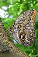 Tropical Butterfly, Giant Owl, Caligo eurilochus