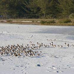 Resting shorebirds on North Beach at Fort De Soto Park in Pinellas County, Florida. Winter plumage.