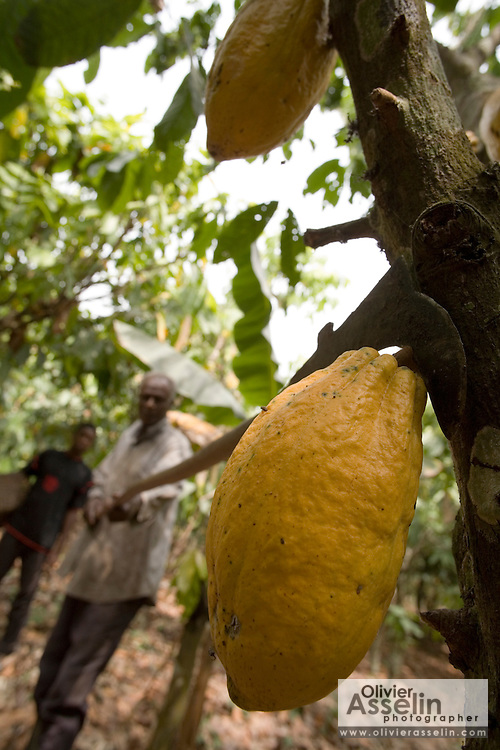Cocoa farmer Lawson Lanquaye Mensah, 70, uses a blade mounted on a long stick to cut cocoa pods of a tree on his farm in the town of Assin Adadientem, roughly 100km west of Ghana's capital Accra on Sat. January 21, 2007. The tool is used to cut off cocoa pods that grow at various heights and are sometimes unreachable by hand. The pods are then collected by another farm worker and carried out of the plantation to a location where the pods will be cracked.