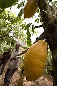 Ghana Cocoa Farming