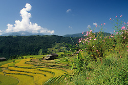 Asia, Nepal, Annapurna Region. Terraced fields of barley and grain near Pokhara.