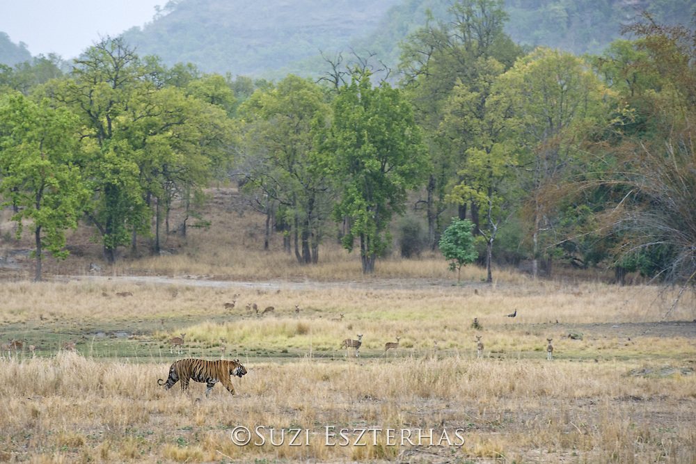 Tiger <br /> Panthera tigris<br /> Territorial male crossing meadow<br /> Bandhavgarh National Park, India<br /> *Endangered species