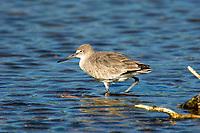 Willet (Catoptrophorus semipalmatus),  'Ding' Darling National Wildlife Reserve, Sanibel Island, Florida, USA   Photo: Peter Llewellyn