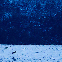 Timber Wolf (Canis lupus) trio cautiously watching pack member return in winter, Gardiner, Yellowstone National Park, Montana