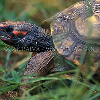 Jabuti encontrado no Parque Copesul de Protecao Ambiental, Rio Grande do Sul, Brasil. foto de Ze Paiva/Vista Imagens