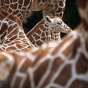 Nederland Rotterdam 30 juni 2001 20010630 Foto: David Rozing .Jonge baby giraffe dierentuin Blijdorp .Foto David Rozing