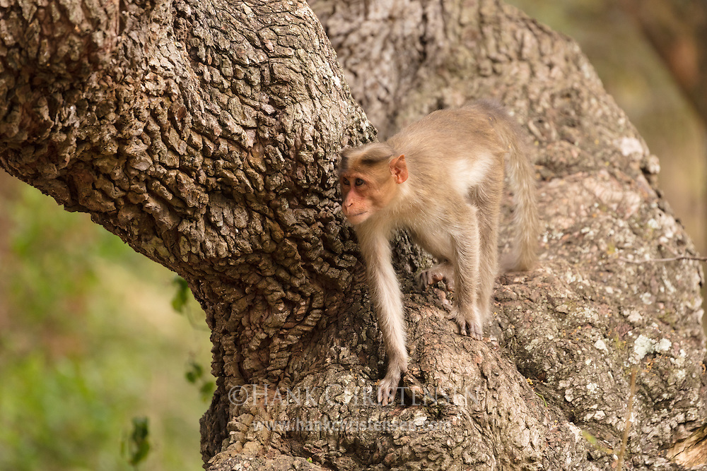A rhesus macaque climbs down an old knobby tree, Mudumalai National Park, India.