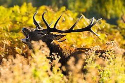 © Licensed to London News Pictures. 01/10/2018. London, UK.  A stag deer roars in autumn sunshine and warm weather in Bushy Park in south west London today.  Photo credit: Vickie Flores/LNP