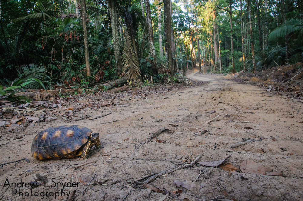 Yellow-footed tortoise (Chelonoidis denticulata) along Bai Shan Lin access road, Guyana.