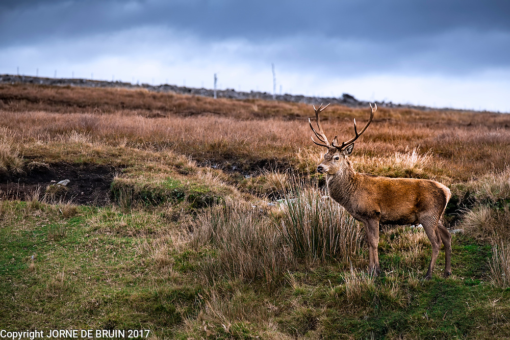 A wild male Red Deer in Sutherland, Scotland