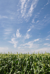 Beautiful day in a cornfield in The Hamptons