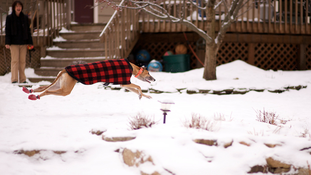 First romp in the snow. Greyhound Rescue Fostering