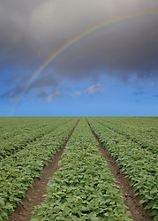 strawberry field with rainbow