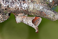 Chocolate-tip - Clostera curtula