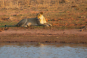 Lioness, Panthera leo, lying at a waterhole. Photographed at Lake Kariba National Park, Zimbabwe