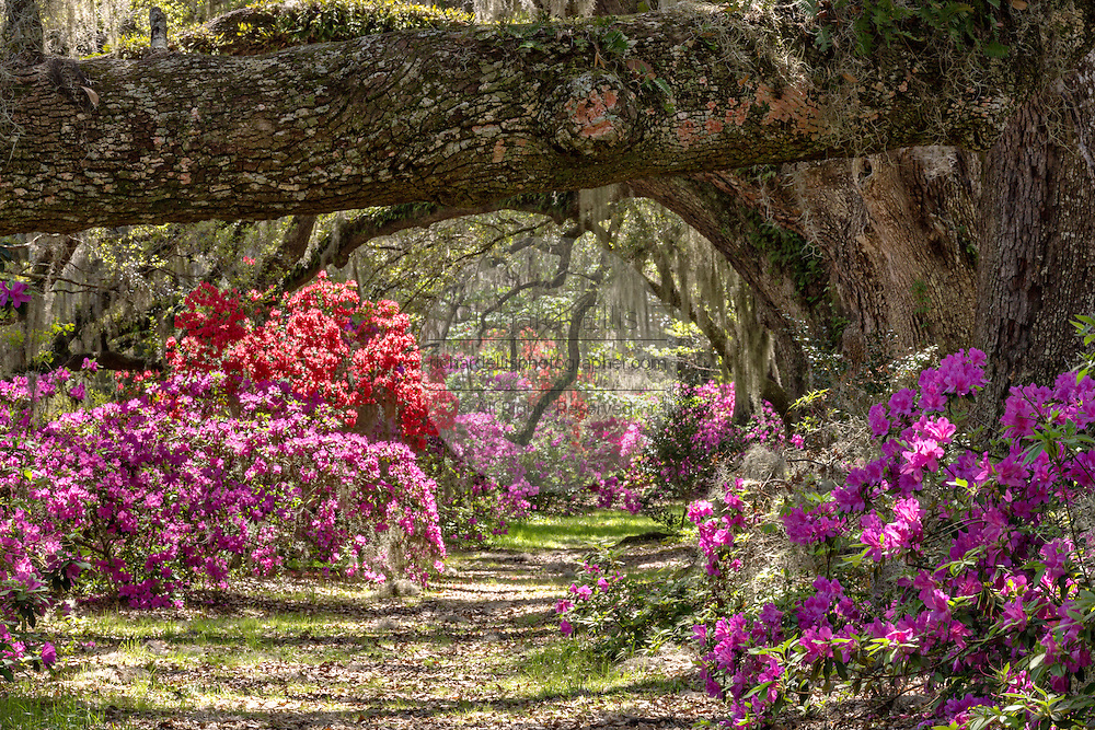 Centuries old Live Oak trees covered with spanish moss at Magnolia Plantation April 10, 2014 in Charleston, SC.