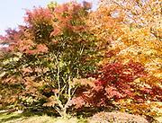 Japanese maple trees in autumn colour, Acer Palmatum, National arboretum, Westonbirt arboretum, Gloucestershire, England, UK 'Osakazuki'