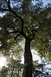 Chile, Lake Country: Large coihue tree in the rainforest near Peulla in the Andes...Photo #: ch650-33274..Photo copyright Lee Foster www.fostertravel.com, lee@fostertravel.com, 510-549-2202.