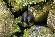 A juvenile American black bear explores rock outcroppings in the temperate rain forest at Anan Creek in the Tongass National Forest, Alaska. Anan Creek is one of the most prolific salmon runs in Alaska and dozens of black and brown bears gather yearly to feast on the spawning salmon.