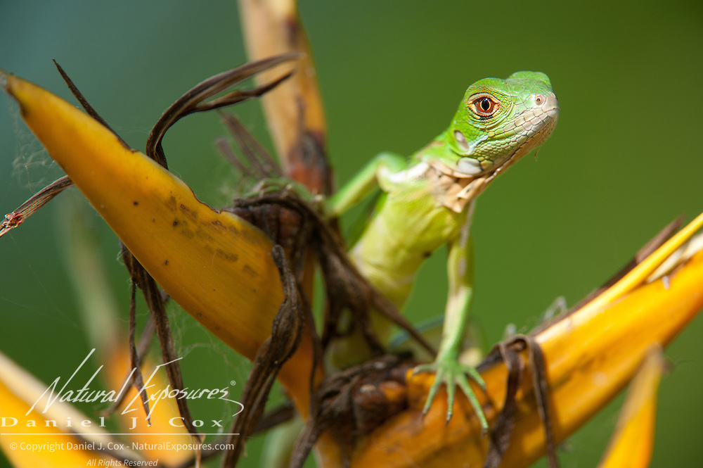 Portrait of a baby iguana. Costa Rica