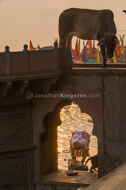 A cow looks down on a woman doing laundry at the ghats in Mathura, India.