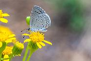 Celastrina echo cinerea - Southwestern Azure