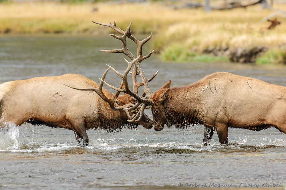 Rocky Mt. Elk [Cervus elaphus] bulls battling for right to mating and harem; Madison R., Yellowstone NP., WY